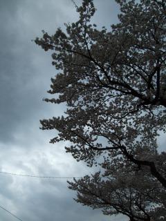 さくら・サクラ・桜_b0117564_2181971.jpg