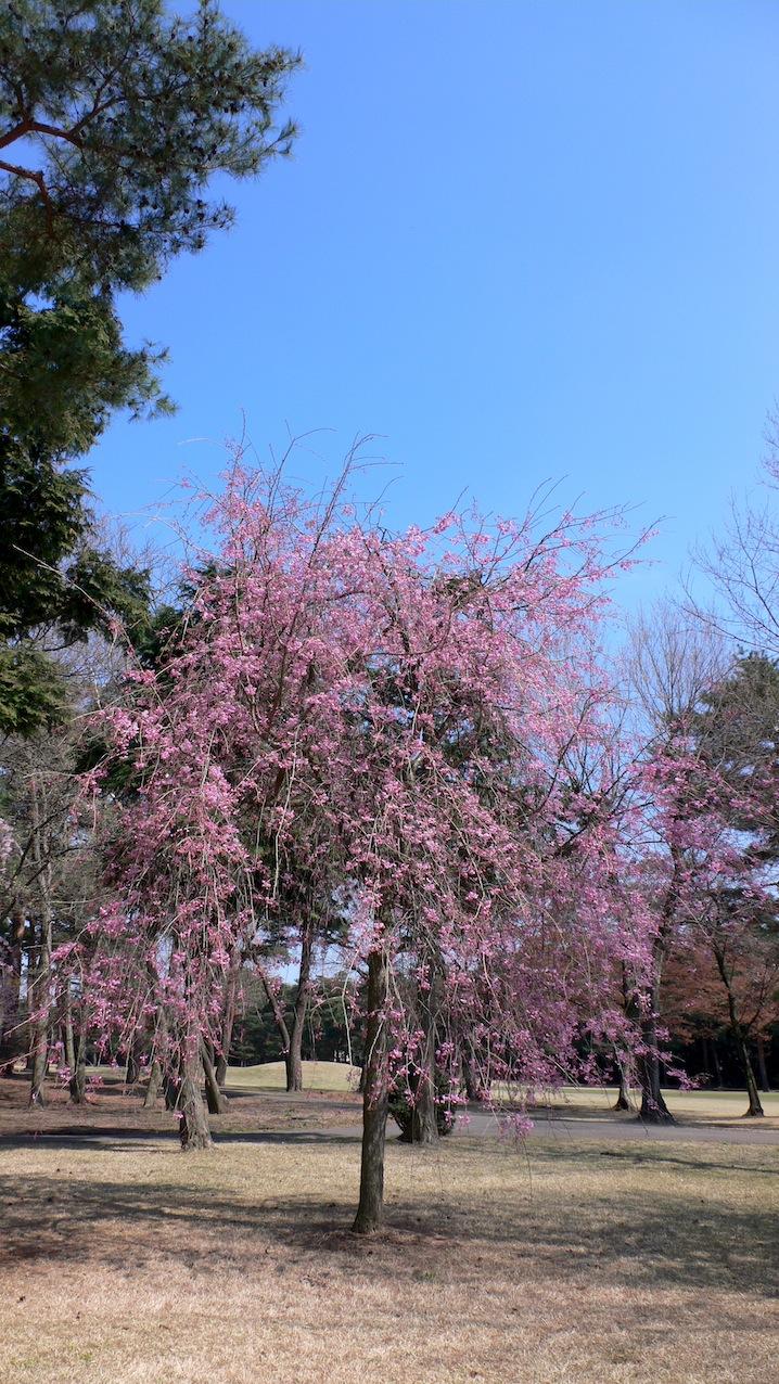 桜・4/8@ 狭山GC_e0189465_13515131.jpg