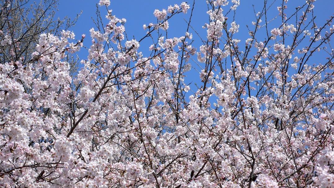 桜・4/8@ 狭山GC_e0189465_1351684.jpg
