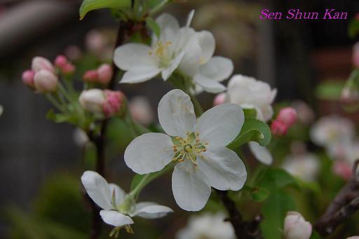 りんごの花_a0164068_22393761.jpg