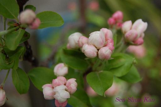 りんごの花_a0164068_22403183.jpg