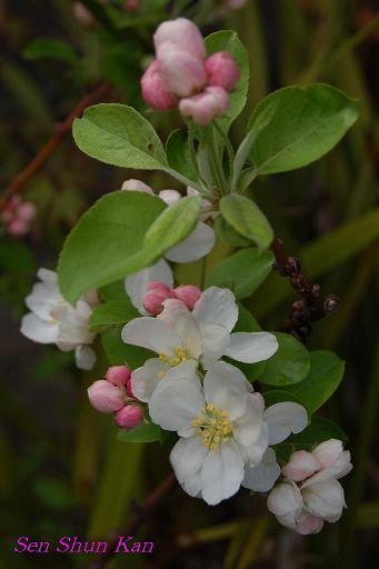 りんごの花_a0164068_22422569.jpg
