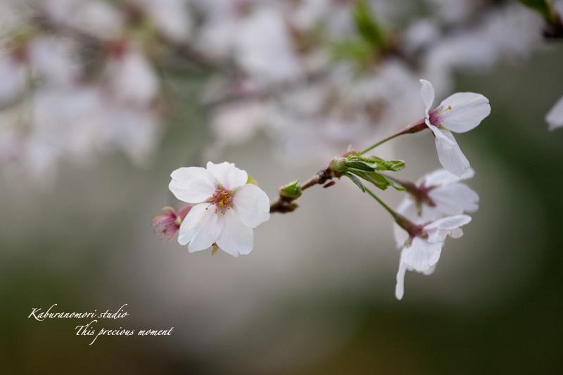恵林寺の桜_c0137403_15434720.jpg