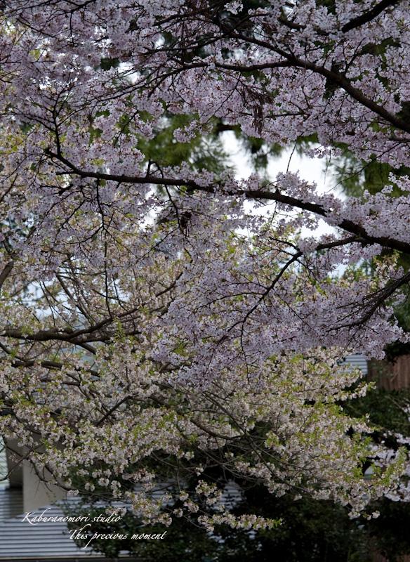 恵林寺の桜_c0137403_15454616.jpg