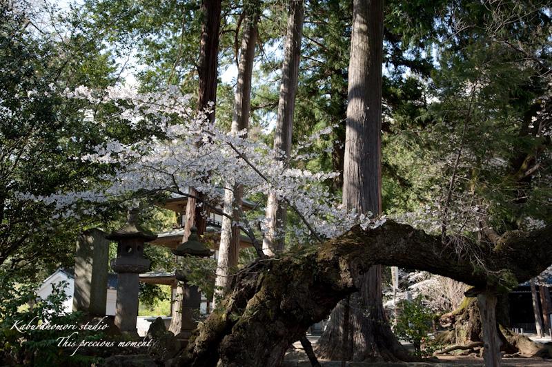 恵林寺の桜_c0137403_160191.jpg
