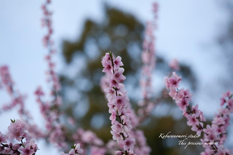 恵林寺の桜_c0137403_1868100.jpg