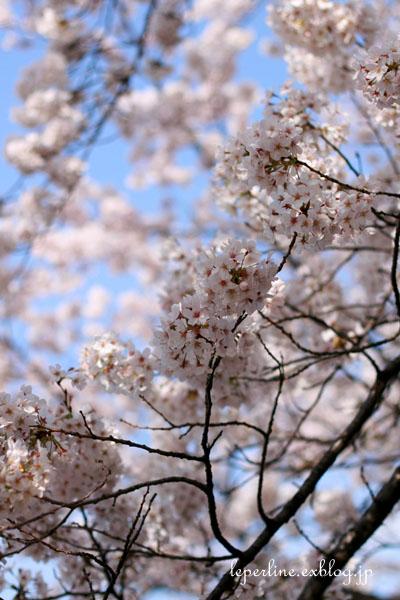 sakura_b0098139_15103563.jpg
