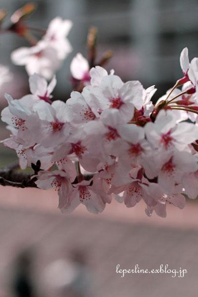 sakura_b0098139_15112640.jpg