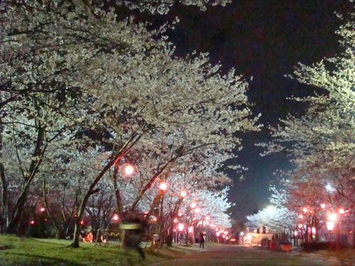 桜まつり 夜桜見物はいかが♪_f0229750_8562745.jpg
