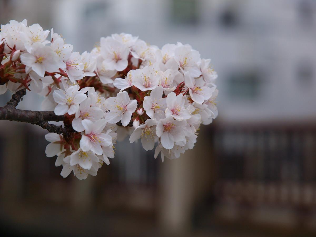 京都 岡崎疎水 桜_f0021869_19541924.jpg