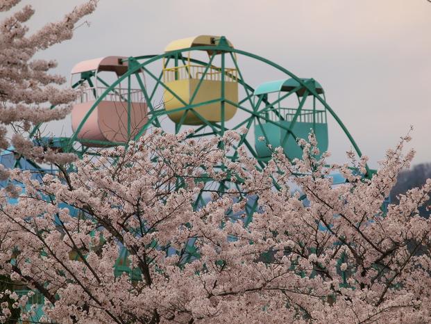 京都 岡崎疎水 桜_f0021869_2064049.jpg
