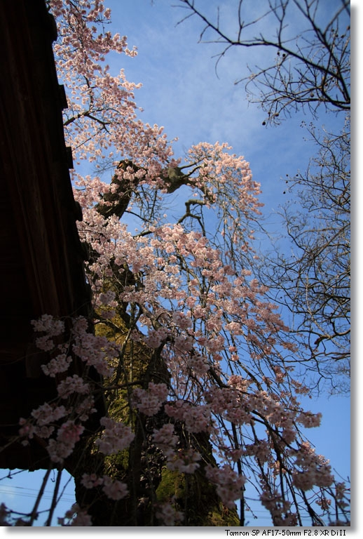 桜_c0054876_17383394.jpg