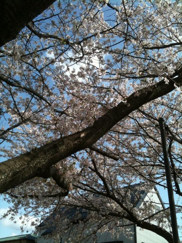 花見シーズンも終わるね_c0174484_1464444.jpg