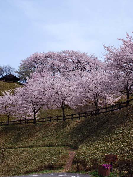 桜2010 城址の桜_c0177814_19384851.jpg
