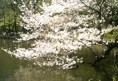 春の大北海道展/井の頭公園の桜_a0116217_1241936.jpg