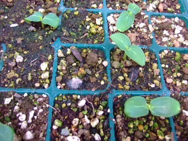 野菜の苗......少しずつ成長中!_b0137932_19112038.jpg