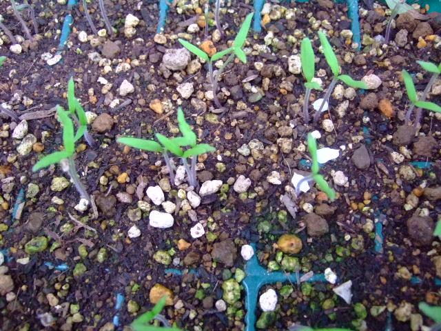 野菜の苗......少しずつ成長中!_b0137932_1931836.jpg