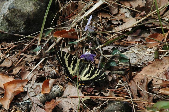 2010年4月の蝶_e0194952_19431432.jpg