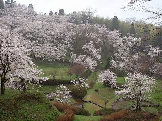 ☆桜満開・・・☆_c0208355_15424662.jpg