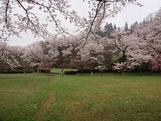 ☆桜満開・・・☆_c0208355_15425917.jpg