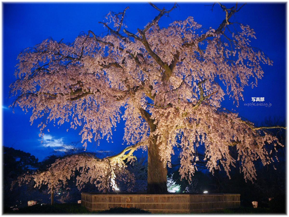 京都 円山公園 夜桜 2_f0021869_15143824.jpg