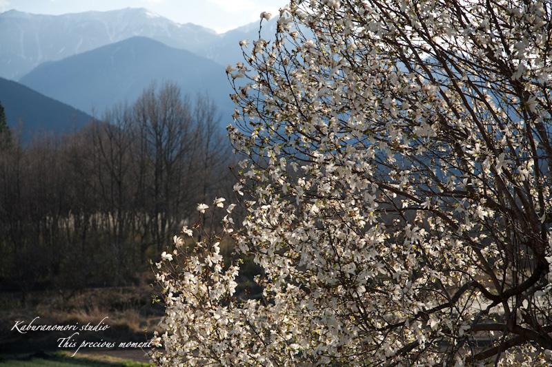 西日に輝き風に踊るコブシの花_c0137403_21262912.jpg
