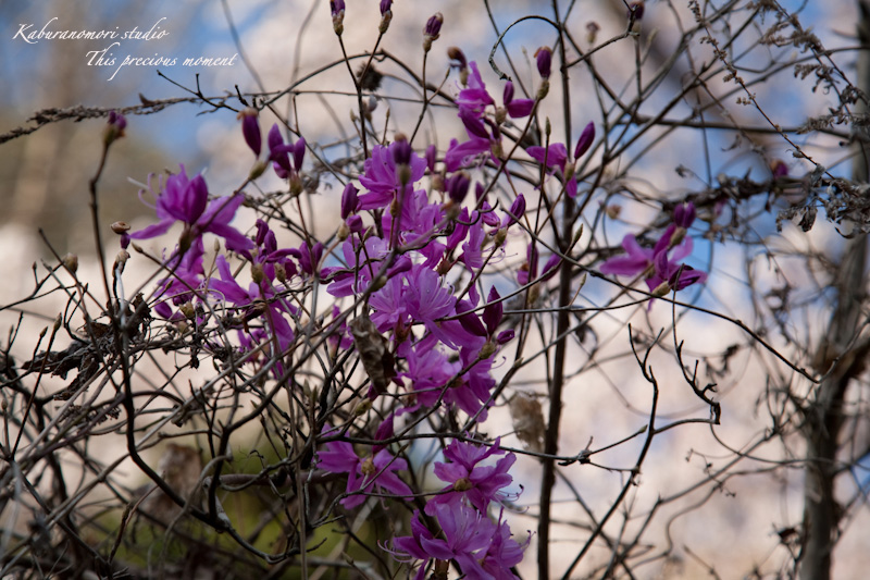 西日に輝き風に踊るコブシの花_c0137403_2129172.jpg