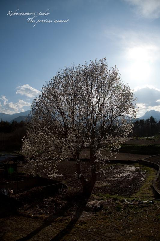西日に輝き風に踊るコブシの花_c0137403_21453326.jpg