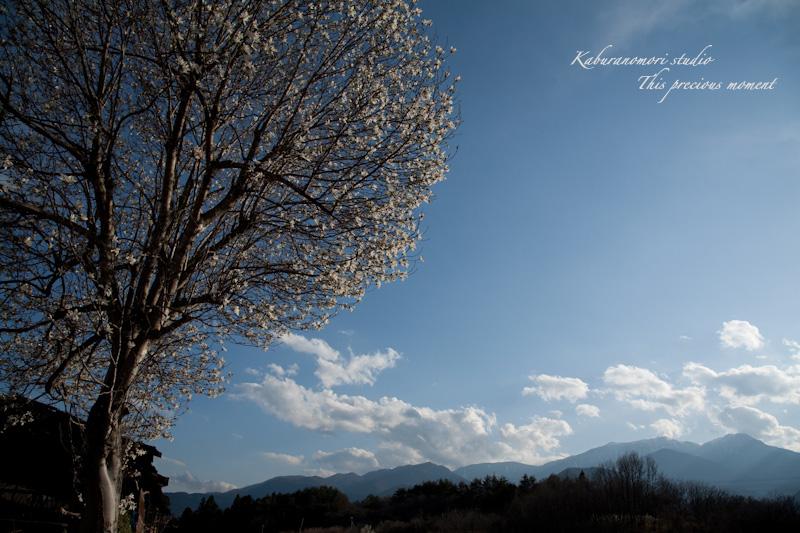 西日に輝き風に踊るコブシの花_c0137403_21493478.jpg