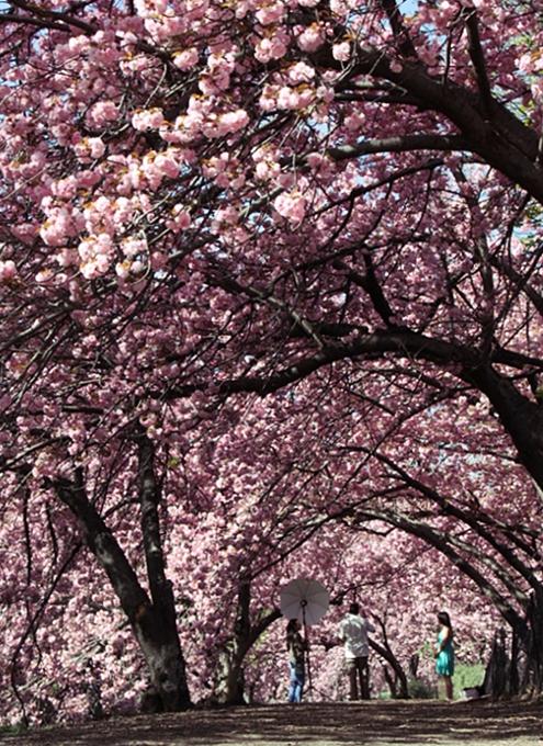 セントラルパークにある桜のトンネル_b0007805_0561878.jpg
