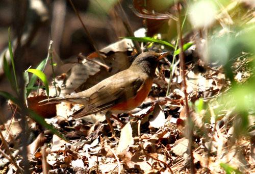 初めての森へ・・・キビタキ・・・_c0213607_18585945.jpg
