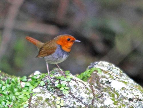 夏鳥の早い到来・・・オオルリ、コマドリ・・・_c0213607_19443877.jpg