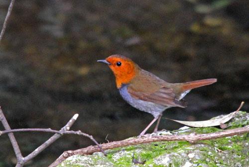 夏鳥の早い到来・・・オオルリ、コマドリ・・・_c0213607_19455664.jpg
