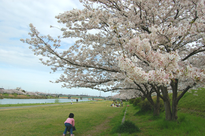 土手の桜_e0195830_15523659.jpg