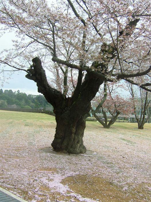 葉桜もまた風情なり_c0110051_20552244.jpg