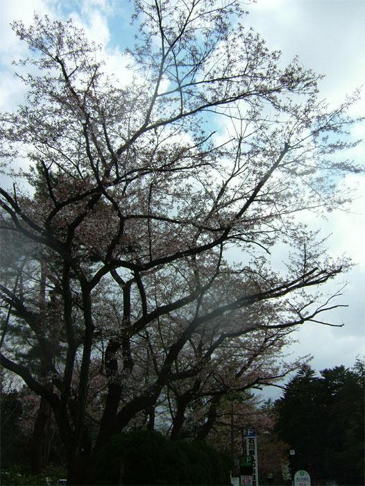 葉桜もまた風情なり_c0110051_2055877.jpg
