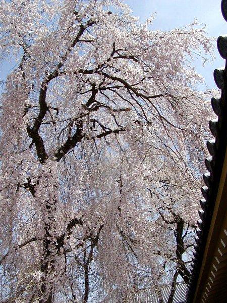 桜めぐり その5_c0057390_22301651.jpg