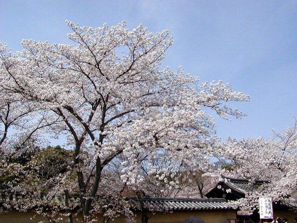 桜めぐり その5_c0057390_22312997.jpg