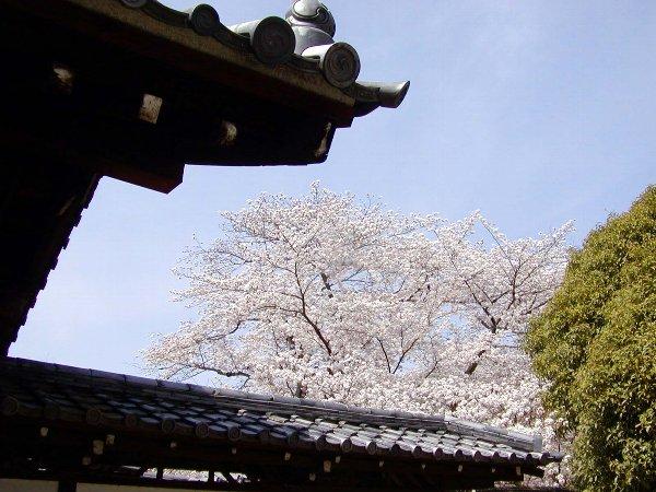 桜めぐり その5_c0057390_22314226.jpg