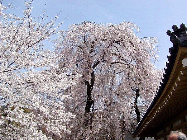 桜めぐり その5_c0057390_22314726.jpg