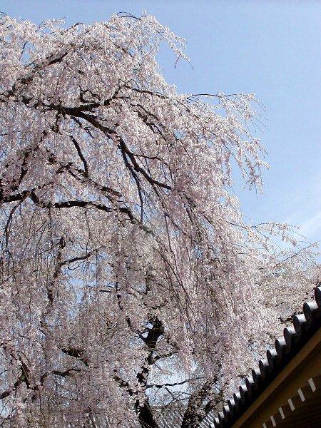 桜めぐり その5_c0057390_22315317.jpg