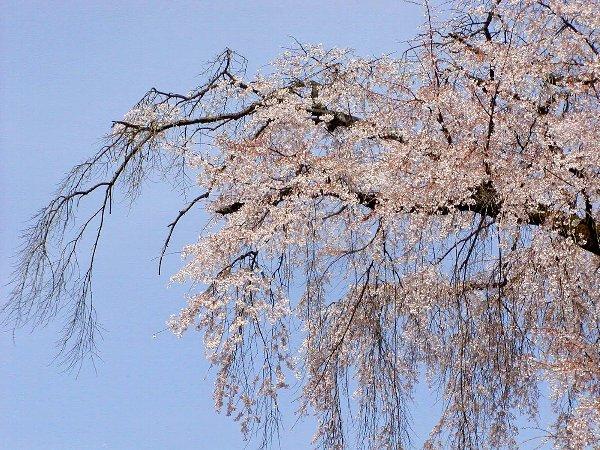 桜めぐり その5_c0057390_22321165.jpg