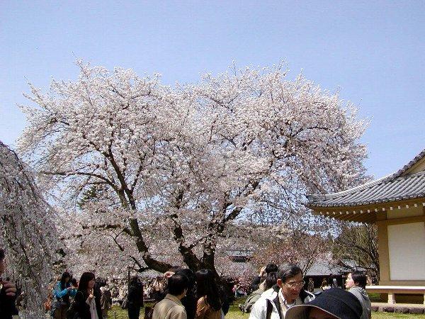 桜めぐり その5_c0057390_22321724.jpg