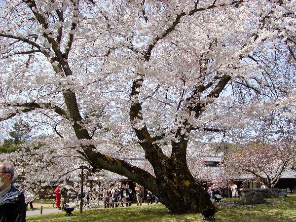 桜めぐり その5_c0057390_22322451.jpg