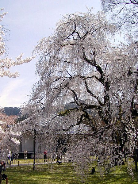 桜めぐり その5_c0057390_22323576.jpg