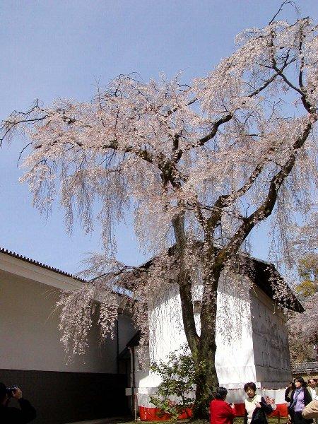桜めぐり その5_c0057390_2232647.jpg