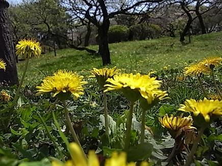 タンポポの咲く大倉山公園♪_b0105897_845043.jpg