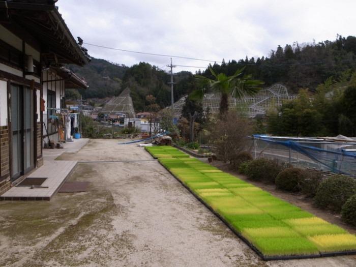 稲の苗を育苗機から庭へ。_c0116915_23373729.jpg