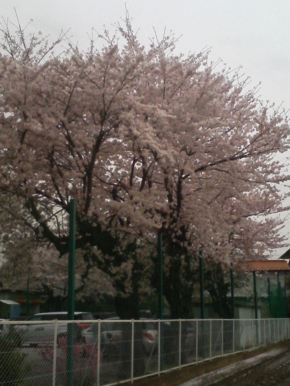 桜の季節…。_f0214534_8113685.jpg