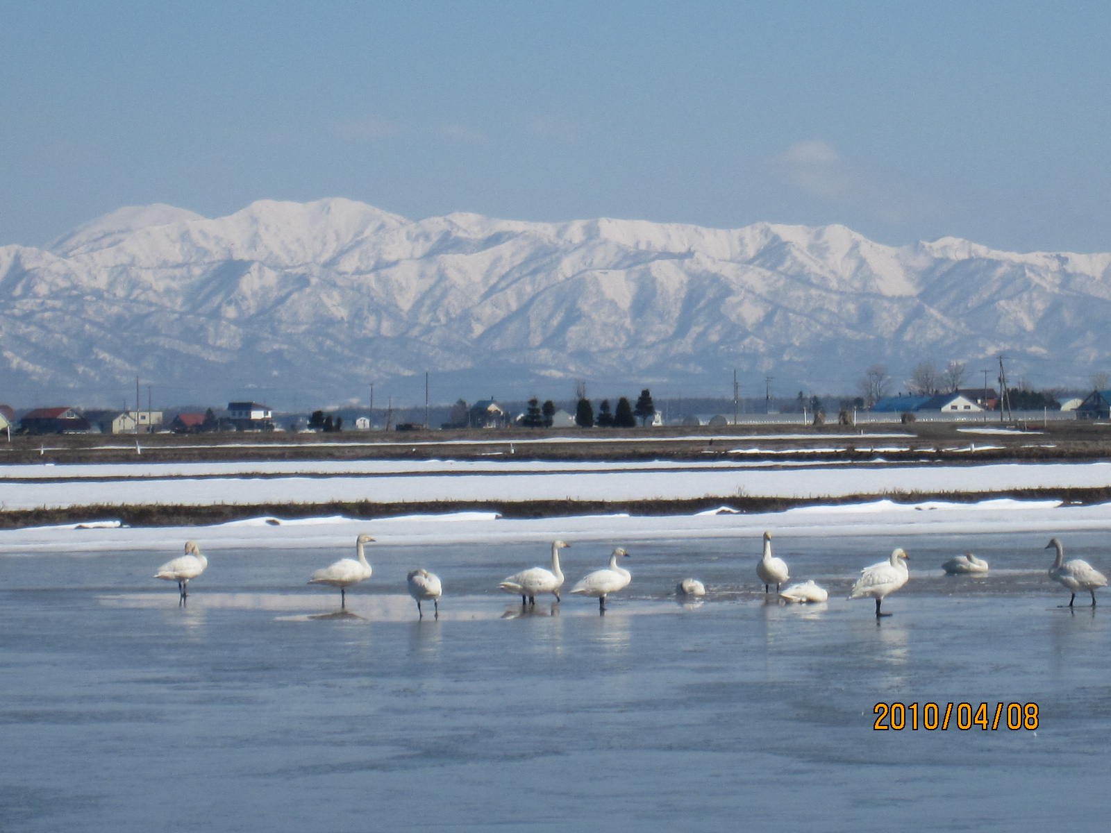 白鳥さんたくさんいるよ~!_f0231042_11391077.jpg